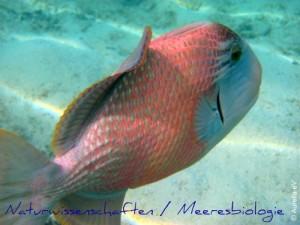 Drückerfisch im Meer / Meeresbiologie