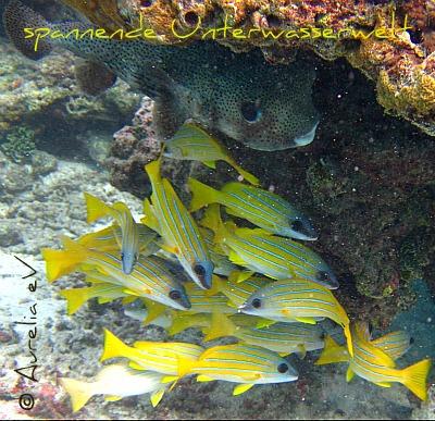 Kofferfisch und andere, bunte Fische im Meer