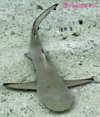 Ein kleiner Hai knapp unter der Wasseroberfläche