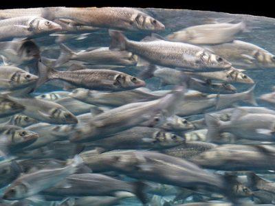 Fisch - Sardinen