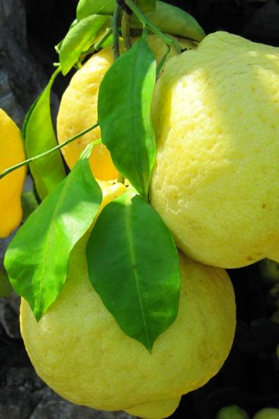Zitronen in Italien - auf Klassenfahrten mit dem Chemie LK untersuchen