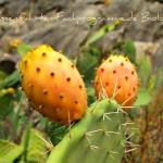 Kaktus-Frucht