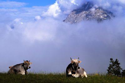 Österreich - Berge, Kühe