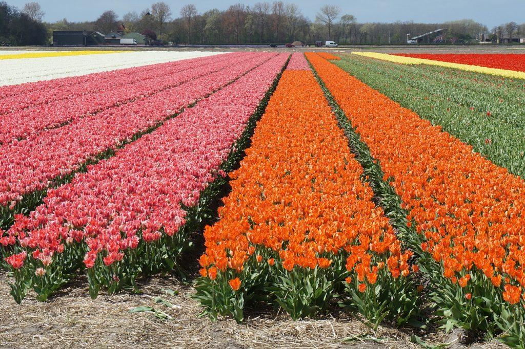 Tulpenfeld. Klassenfahrt Amsterdam zum weltgrößten Handesplatz für Blumen